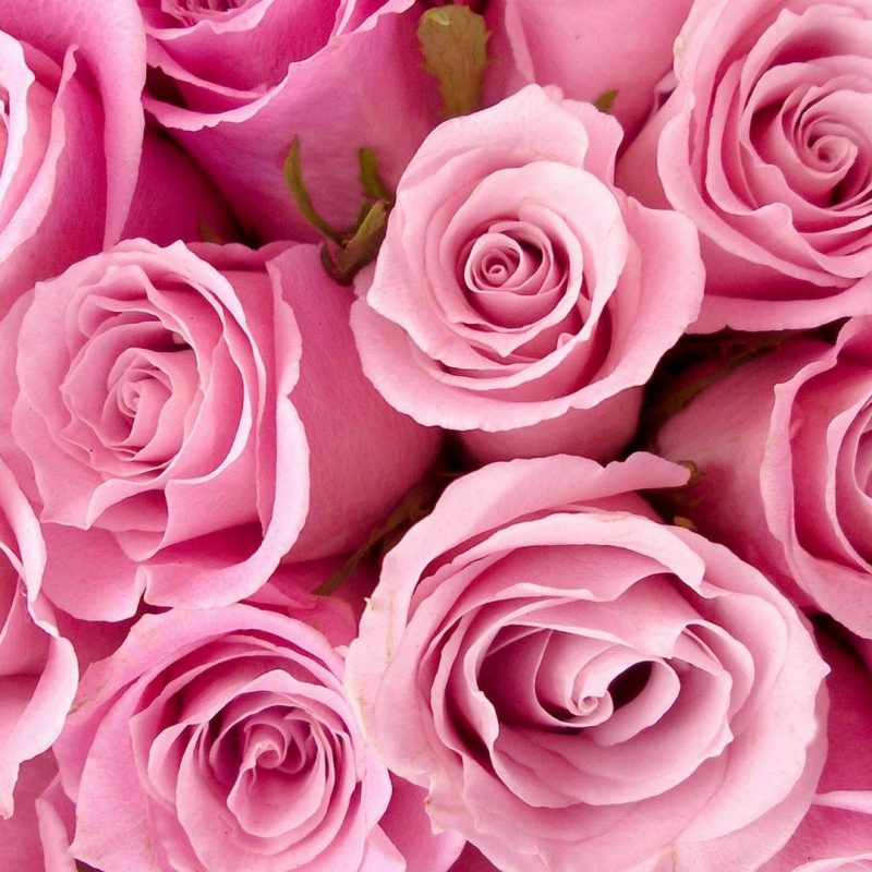10 Most Popular Pink Rose Desktop Wallpaper FULL HD 1080p For PC Background 2018 free download flowers pink roses wallpapers desktop phone tablet awesome 800x800