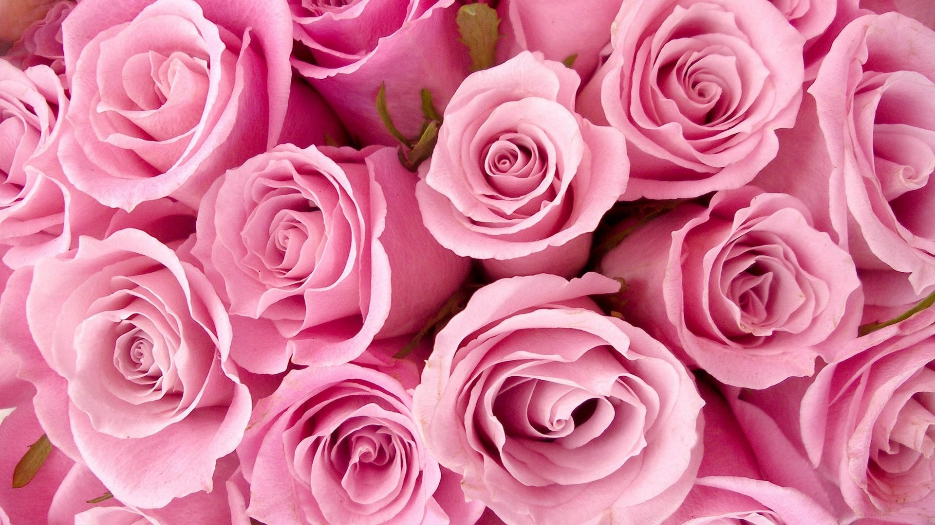 flowers pink roses wallpapers (desktop, phone, tablet) - awesome