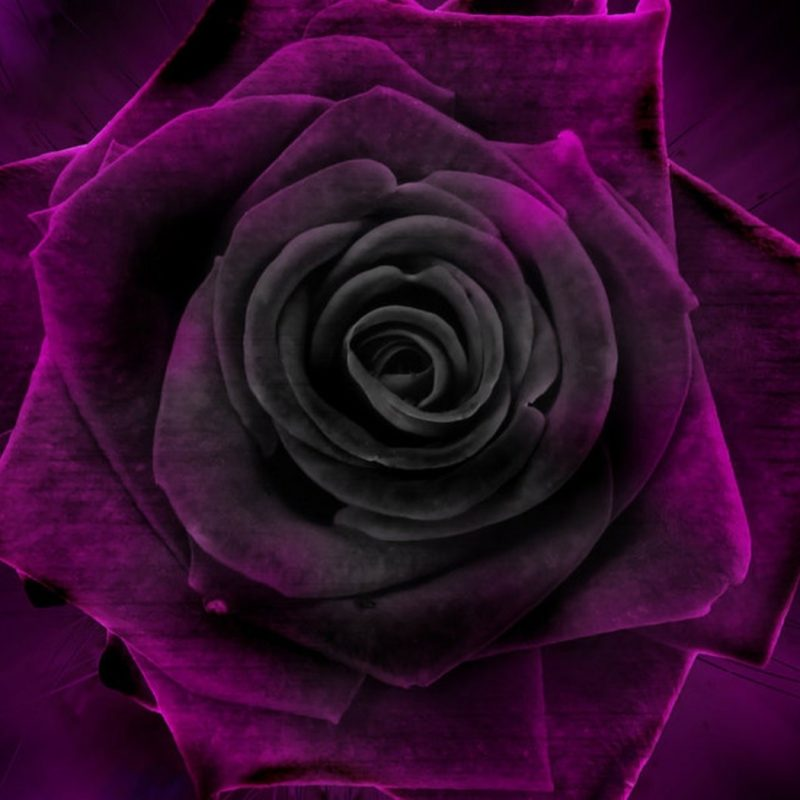 10 Most Popular Black And Purple Flower Wallpaper FULL HD 1080p For PC Background 2018 free download flowers rose velvet purple black flower wallpapers photos for hd 16 800x800
