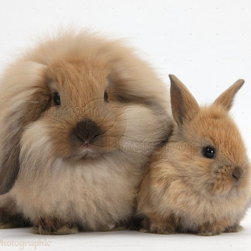 10 Most Popular Cute Baby Bunny Images FULL HD 1920×1080 For PC Desktop 2021 free download fluffy lionhead x lop rabbit and cute baby bunny photo wp35984 800x800