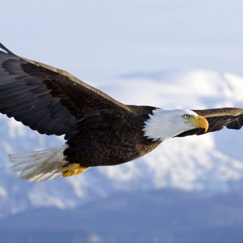 10 Best Flying Eagle Wallpaper Desktop FULL HD 1080p For PC Background 2018 free download flying eagle in sky hd wallpaper hd wallpapers 800x800