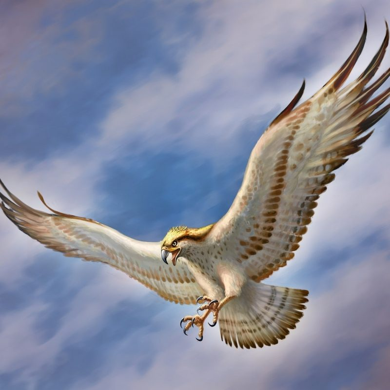 10 Best Flying Eagle Wallpaper Desktop FULL HD 1080p For PC Background 2018 free download flying eagle wallpapers best flying eagle wallpapers in high 800x800