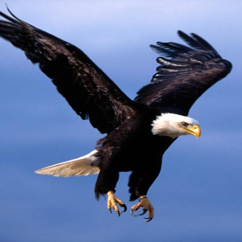 10 Best Flying Eagle Wallpaper Desktop FULL HD 1080p For PC Background 2018 free download flying eagle wallpapers wallpaper cave 800x800