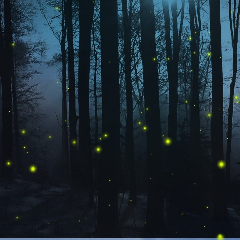 10 Top Woods At Night Wallpaper FULL HD 1920×1080 For PC Background 2018 free download forests forest dark nights trees woods fireflies firefly night 800x800