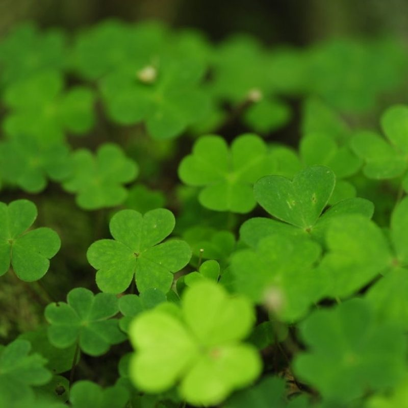 10 Most Popular 4 Leaf Clover Wallpapers FULL HD 1920×1080 For PC Desktop 2020 free download four leaf clover wallpaperpohlmannmark on deviantart 800x800