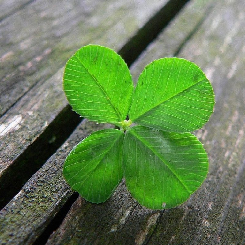 10 Most Popular 4 Leaf Clover Wallpaper FULL HD 1080p For PC Background 2018 free download four leaf clover wallpapers wallpaper cave all wallpapers 1 800x800