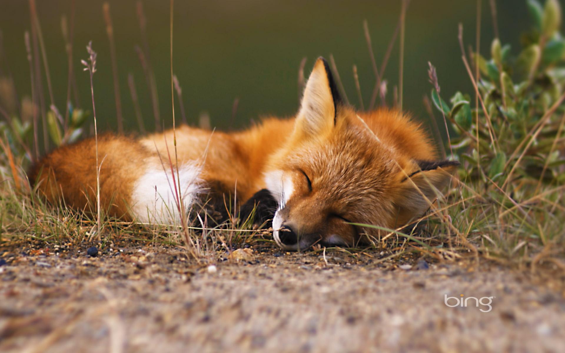 fox hd wallpaper | background image | 1920x1200 | id:462854