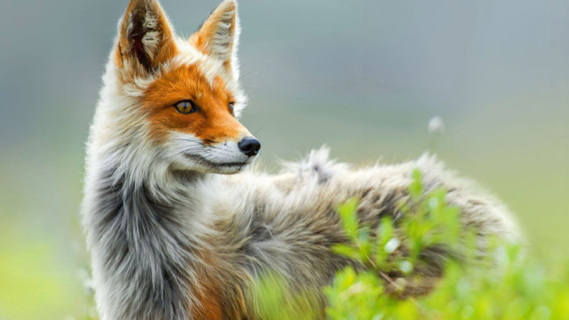 10 Best Fox Desktop Wallpaper FULL HD 1920×1080 For PC Background 2021 free download fox hd wallpapers 7wallpapers 800x450