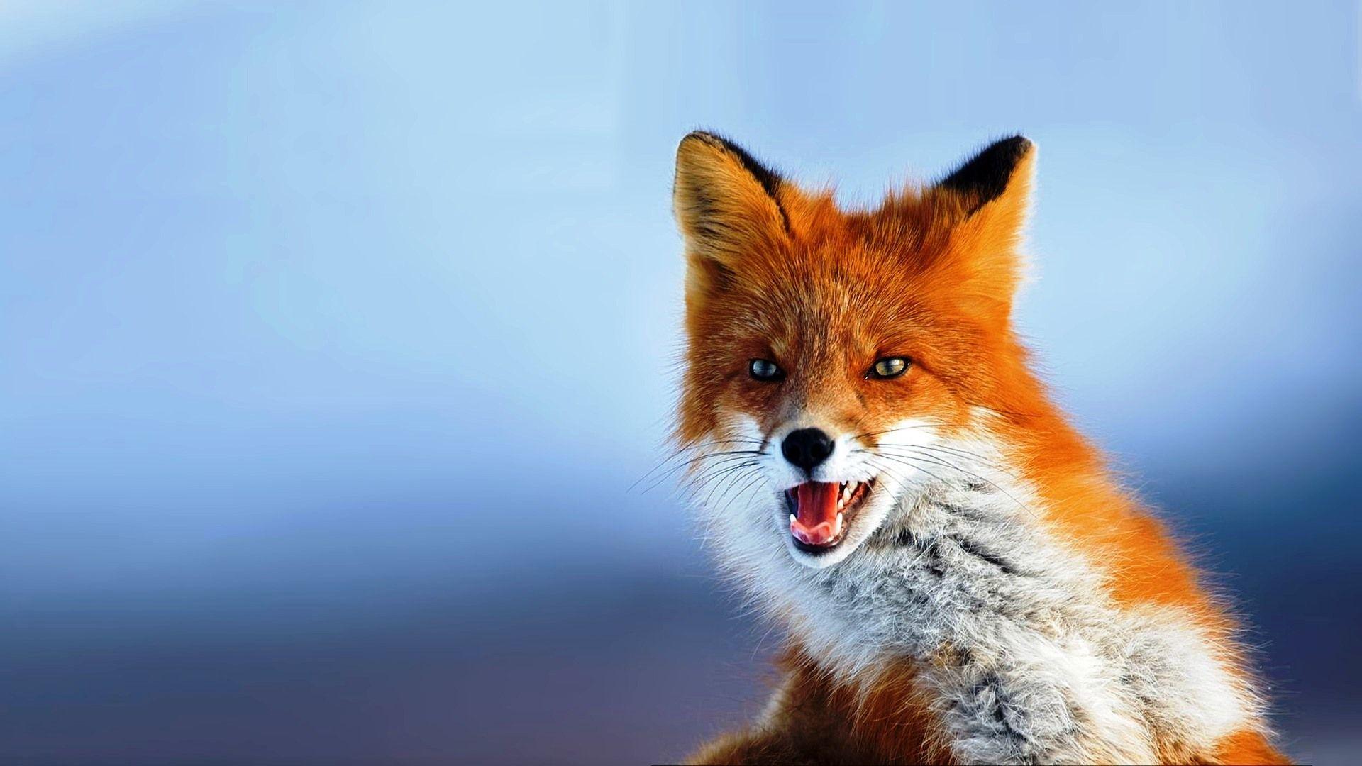 fox hd wallpapers | hd wallpapers fit | animals | pet fox, red fox