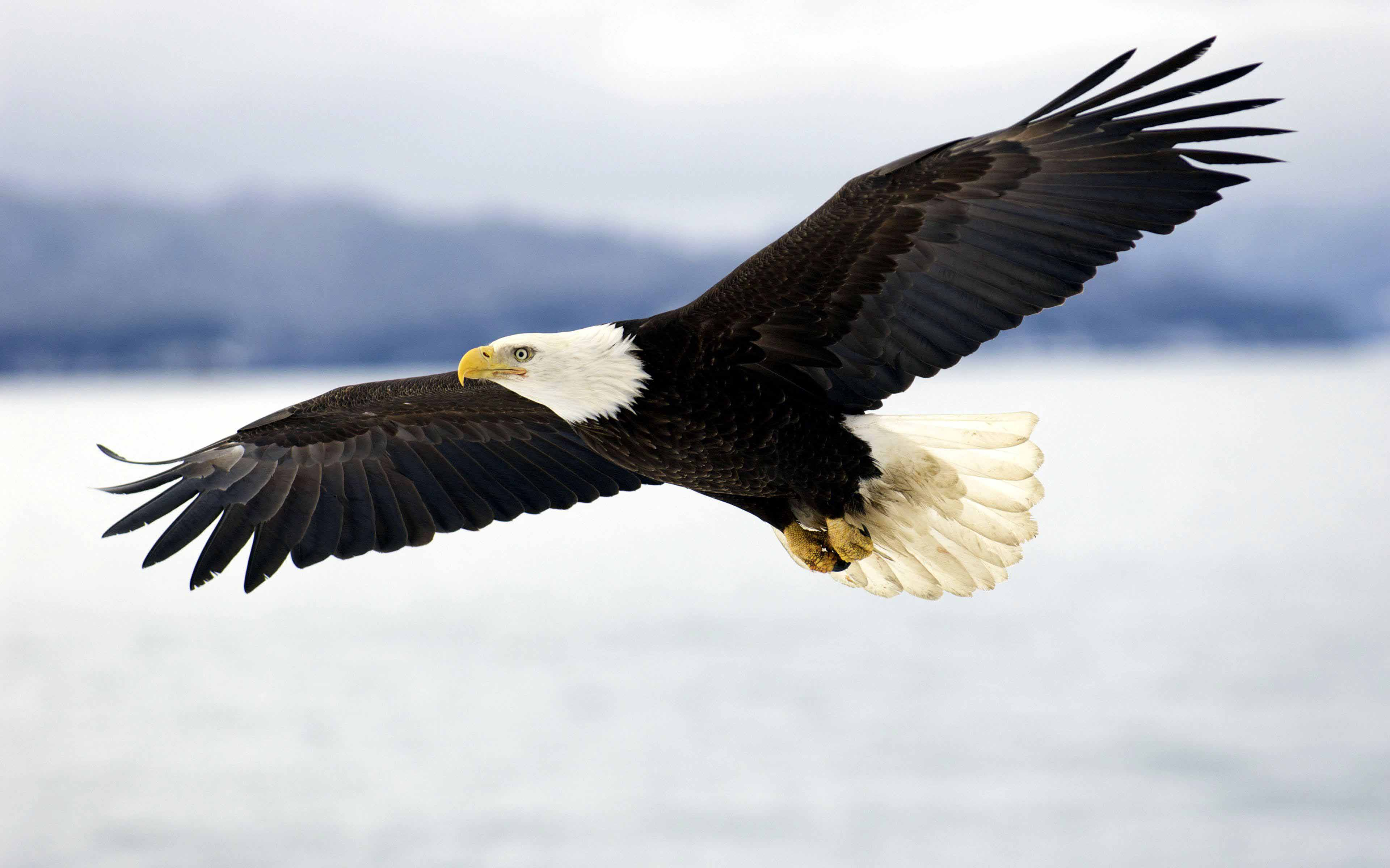 10 Most Popular Bald Eagle Hd Wallpapers FULL HD 1920×1080 ...