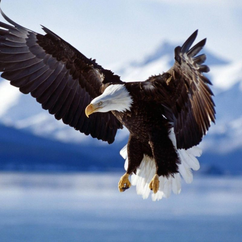 10 Best Eagle Wallpaper For Android FULL HD 1920×1080 For PC Desktop 2020 free download free bald eagle wallpapers wallpaper cave 800x800