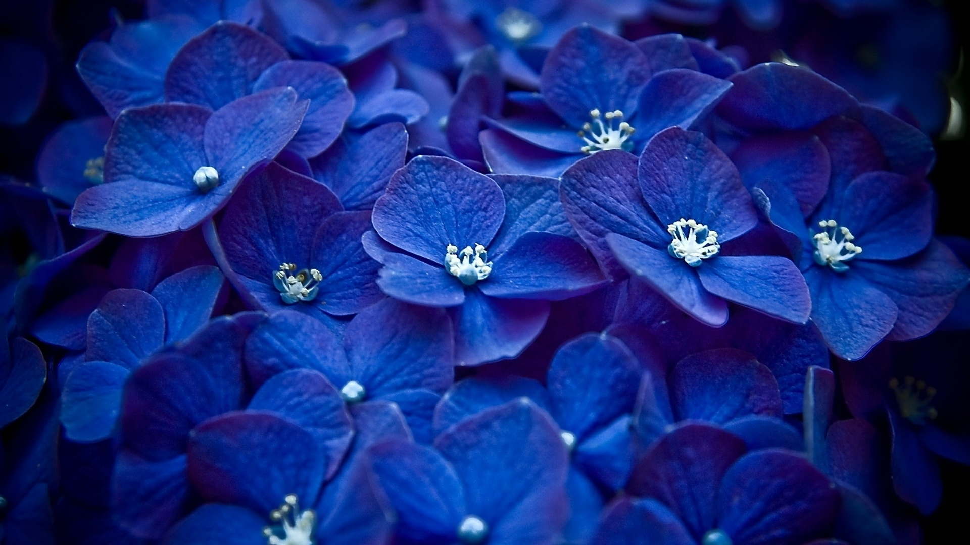 free blue flower wallpapers phone « long wallpapers