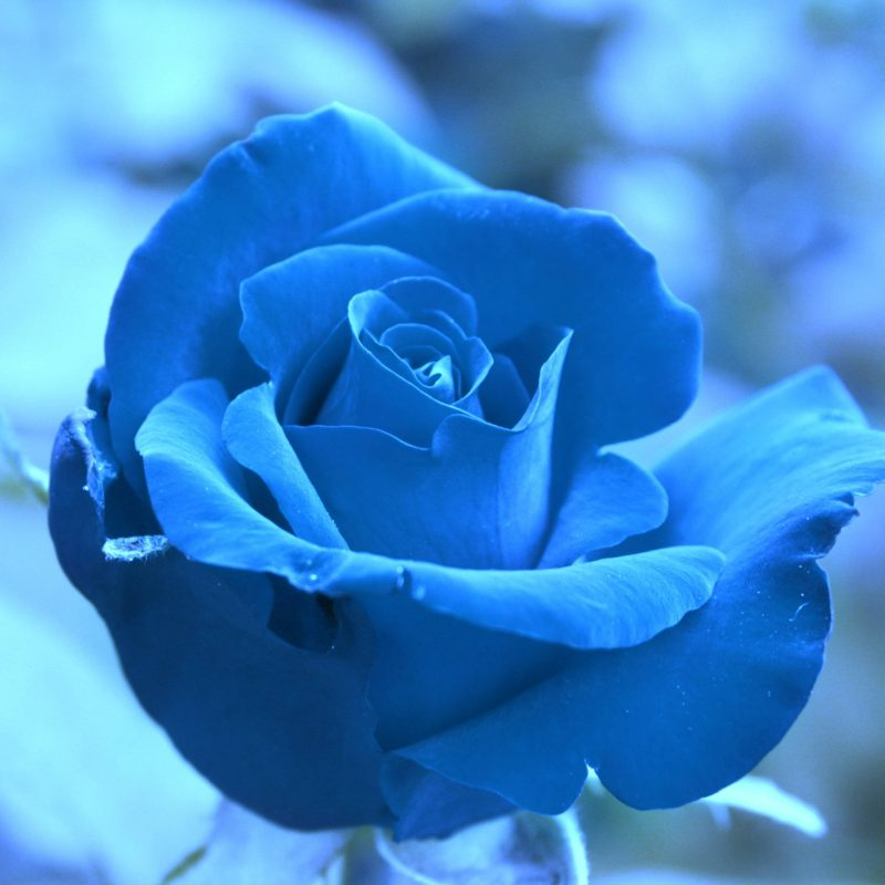 10 New Blue Roses Images Free FULL HD 1920×1080 For PC Background 2020 free download free blue rose wallpapers wallpaper cave 800x800