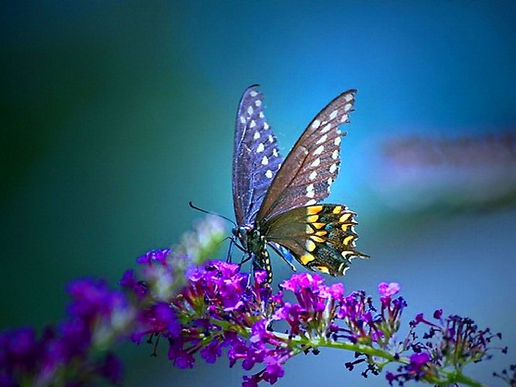 free butterfly wallpaper mobile « long wallpapers