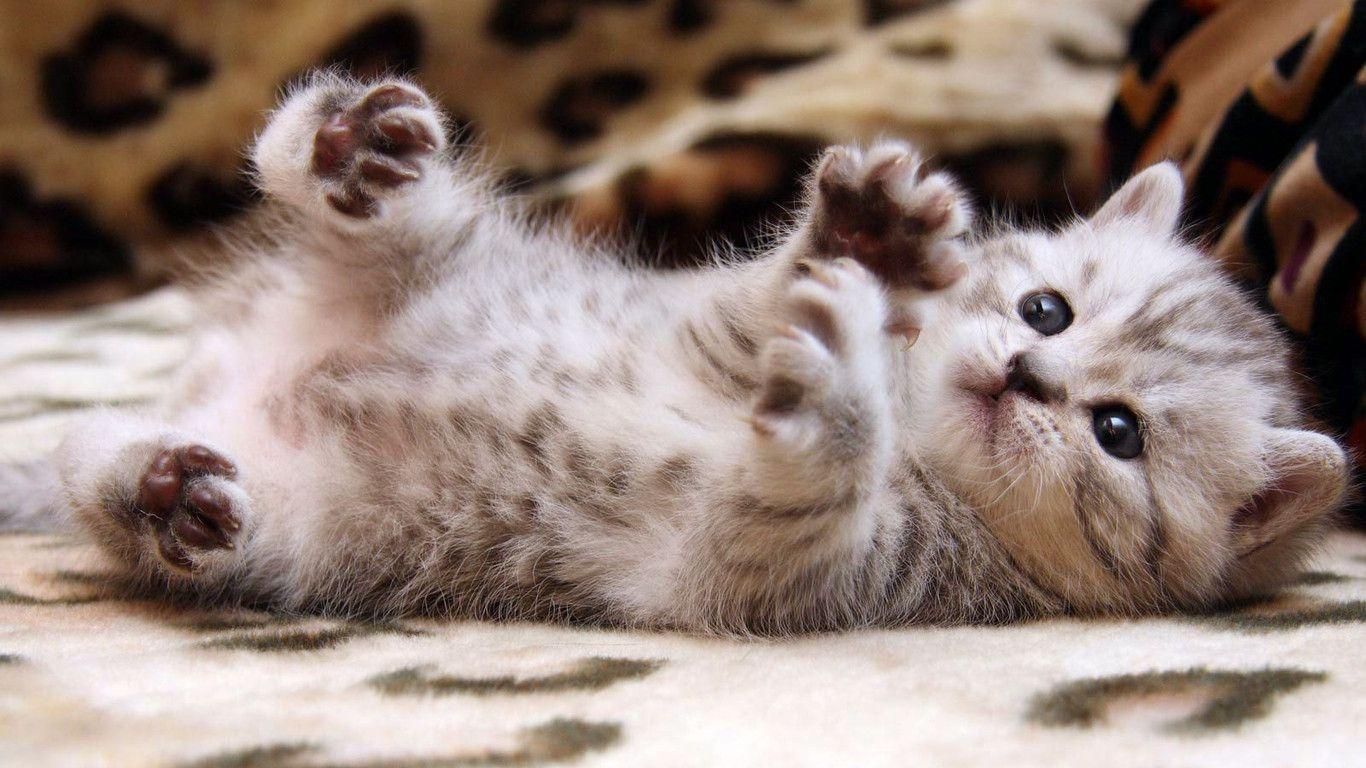 free cat wallpapers for desktop - wallpaper cave