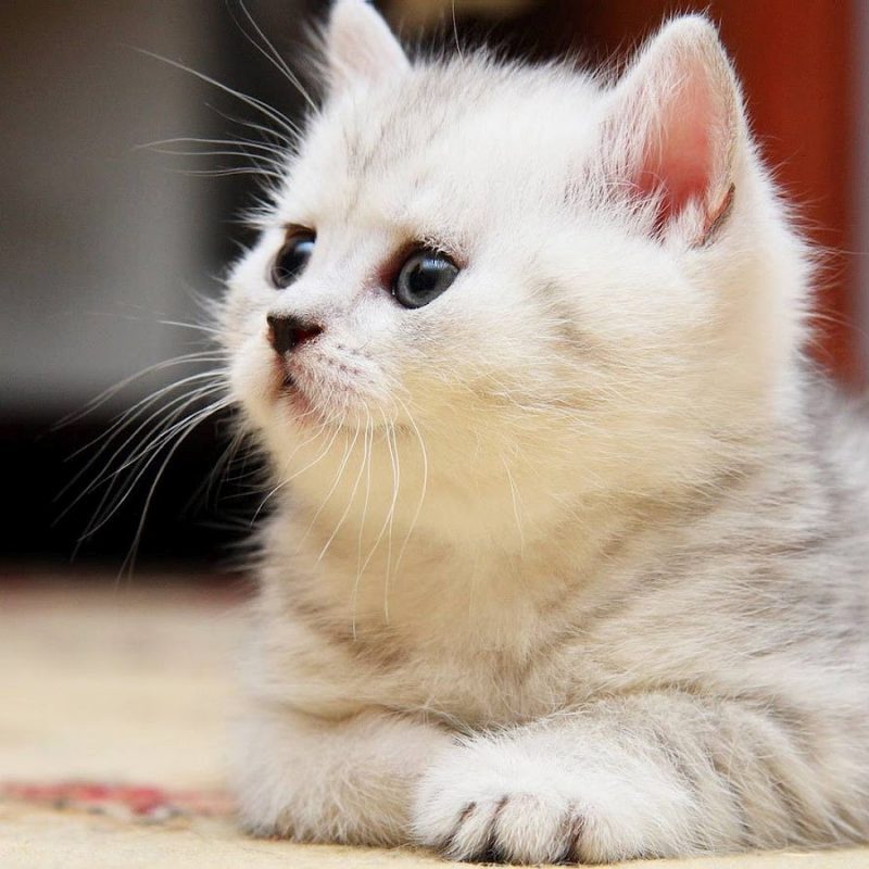 10 Latest Cat Wallpapers Free Download FULL HD 1920×1080 For PC Desktop 2021 free download free cat wallpapers for iphone long wallpapers 800x800