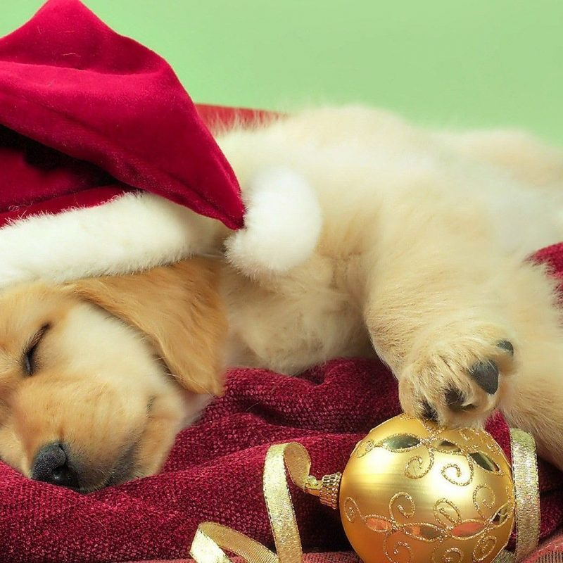 10 Top Cute Puppy Christmas Pictures FULL HD 1080p For PC Desktop 2020 free download free christmas puppy backgrounds long wallpapers 1 800x800