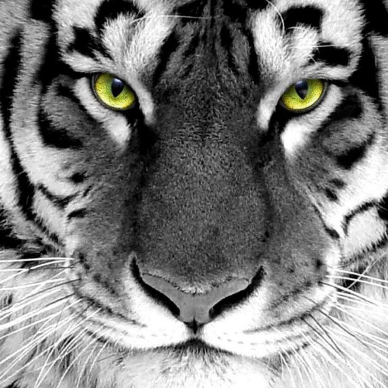 10 Top White Bengal Tigers Wallpaper FULL HD 1080p For PC Desktop 2020 free download free desktop white bengal tiger wallpapers download 800x800