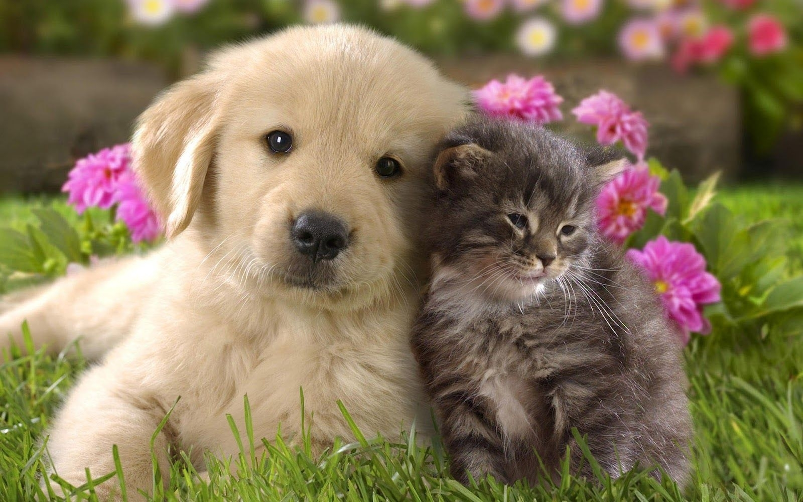 free dog and cat wallpaper 1080p « long wallpapers