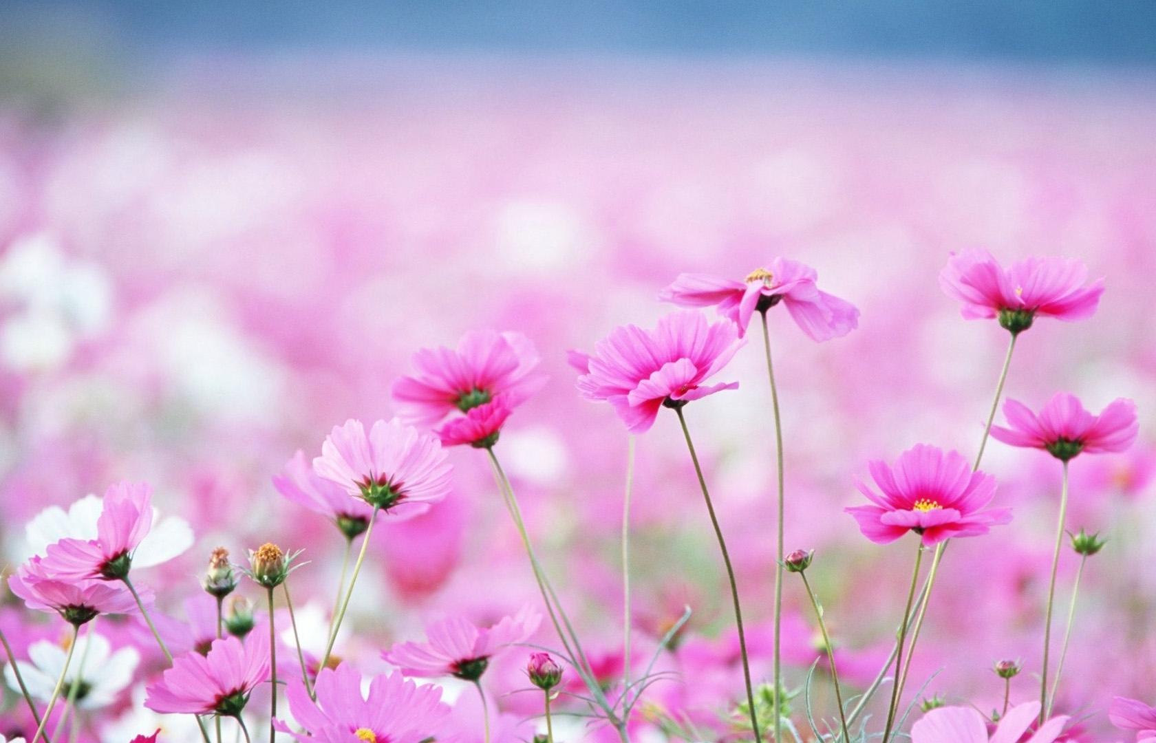 free flower wallpaper hd « long wallpapers