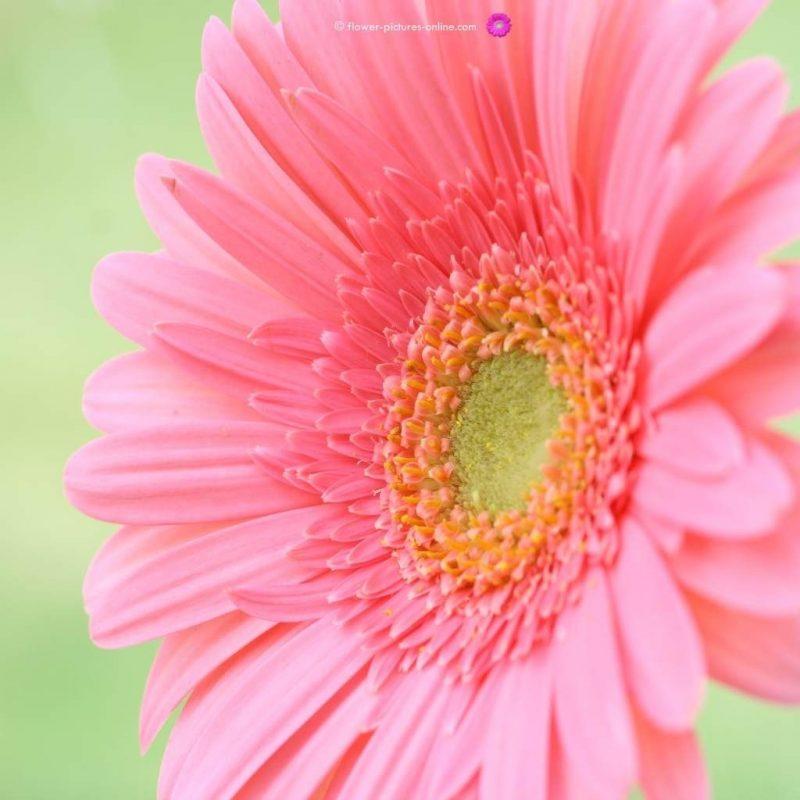 10 New Free Flower Desktop Wallpaper FULL HD 1080p For PC Background 2021 free download free flower wallpapers for desktop wallpaper cave android 800x800