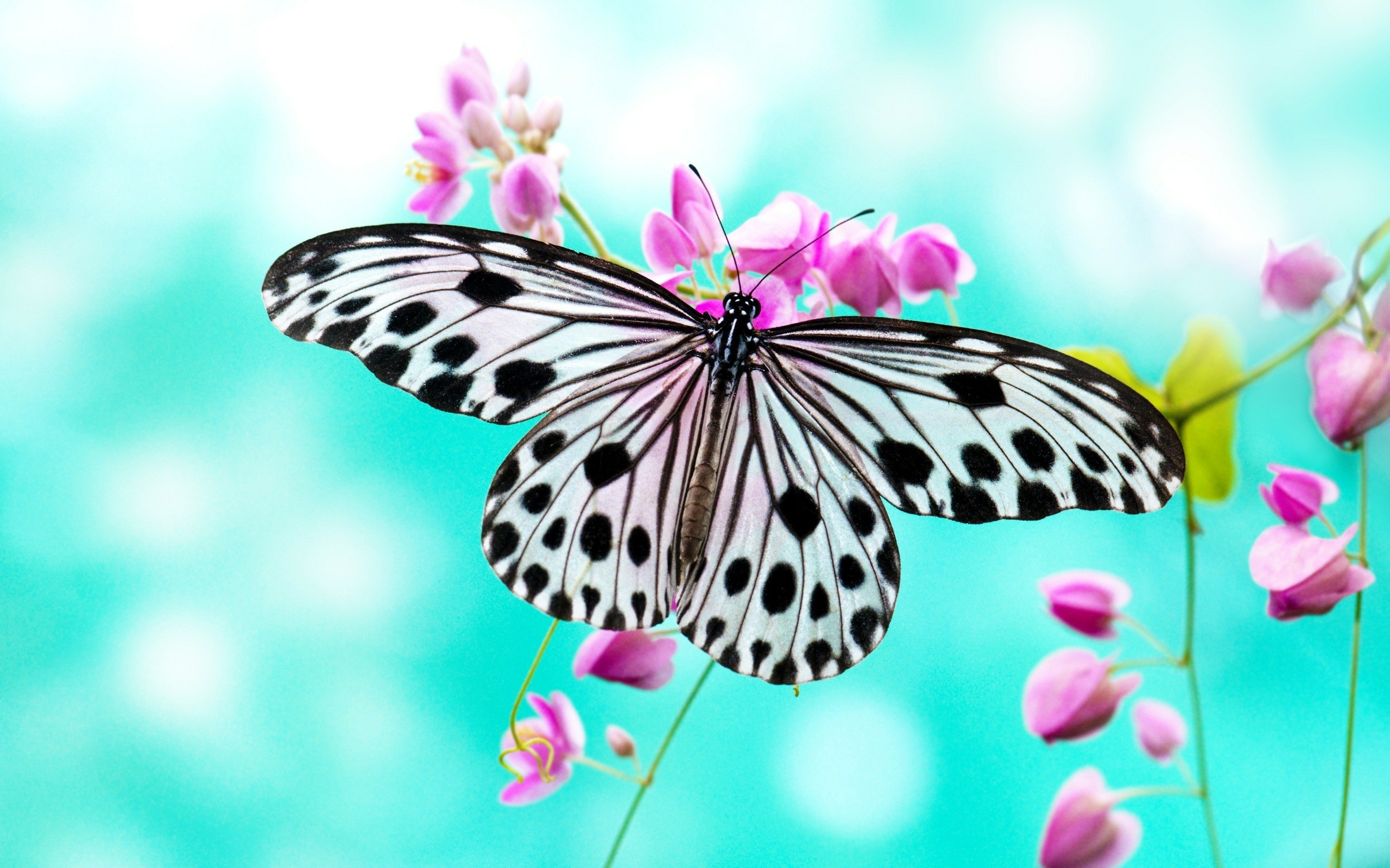 free hd black white butterfly macro wallpaper photos download