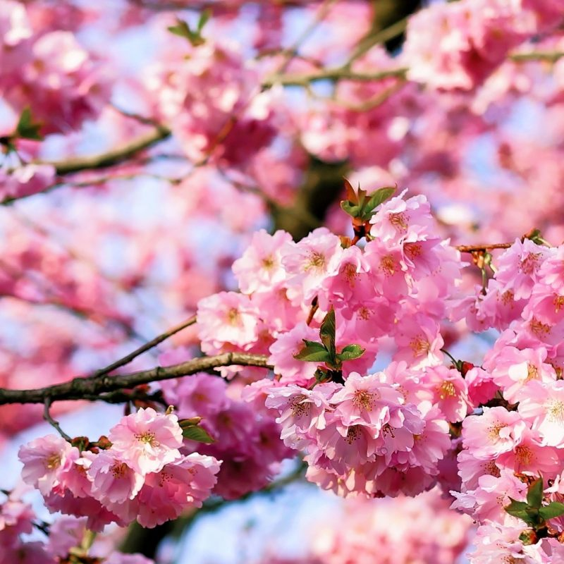 10 Latest Cherry Blossoms Iphone Wallpaper FULL HD 1080p For PC Desktop 2020 free download free hd cherry blossom tree phone wallpaper1141 800x800