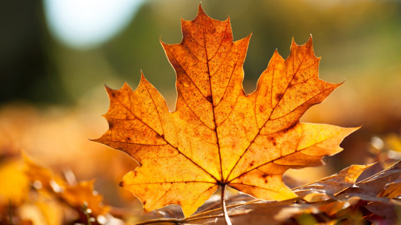 10 Latest Hd Fall Leaves Wallpaper FULL HD 1920×1080 For PC Desktop 2018 free download free hd fall wallpapers make your screen shine brighter pixelstalk 800x450
