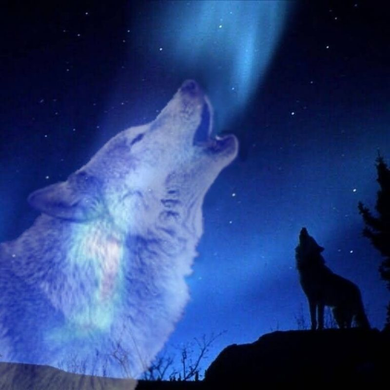 10 Best Wolf Howling At The Moon Wallpaper FULL HD 1080p For PC Background 2020 free download free howling wolf wallpapers picture long wallpapers 1 800x800