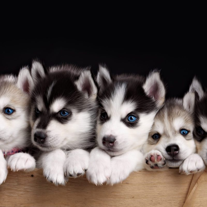 10 Best Puppies Wallpaper For Desktop FULL HD 1080p For PC Desktop 2020 free download free husky puppy wallpapers phone long wallpapers 800x800
