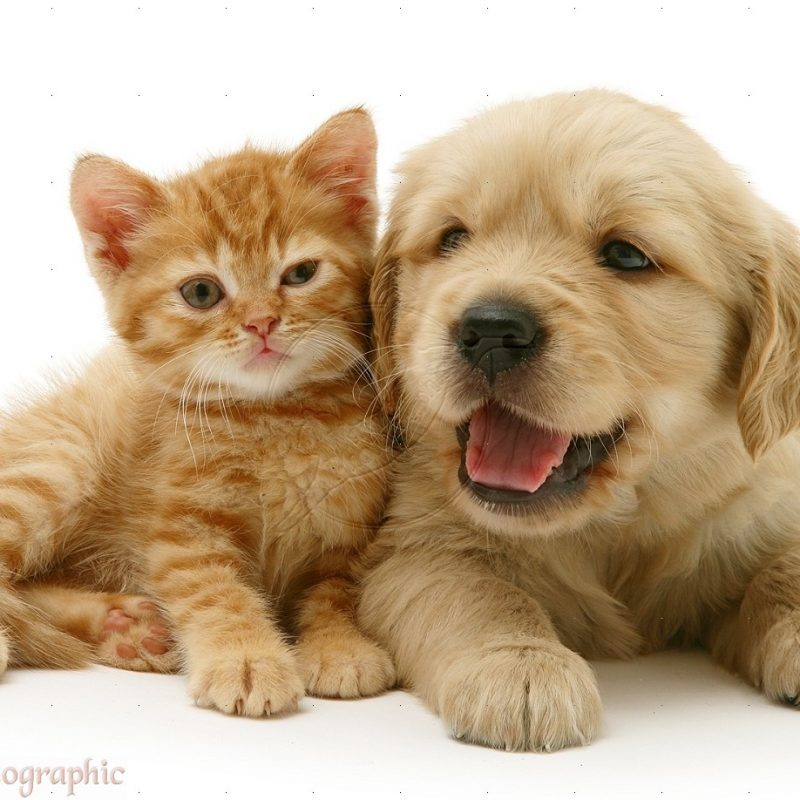 10 Latest Puppy And Kitten Backgrounds FULL HD 1920×1080 For PC Desktop 2020 free download free kitten and puppy wallpaper desktop background long wallpapers 800x800