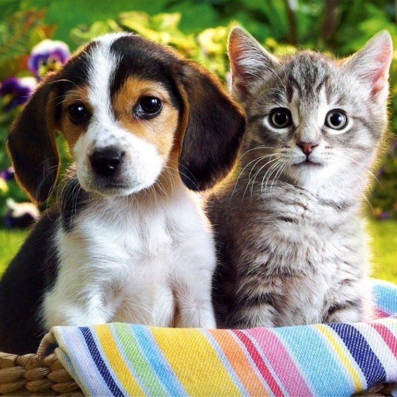 10 Latest Puppy And Kitten Backgrounds FULL HD 1920×1080 For PC Desktop 2018 free download free kitten and puppy wallpaper widescreen long wallpapers 800x800