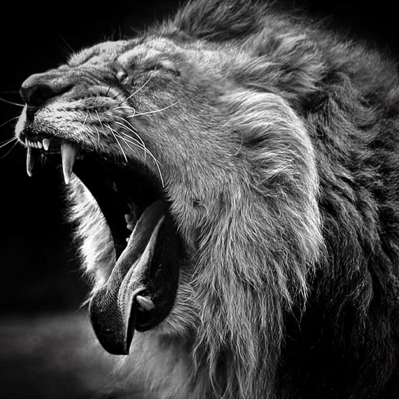10 Most Popular Angry Lion Wallpaper Black And White FULL HD 1080p For PC Desktop 2018 free download free lion black and white wallpaper full hd long wallpapers 800x800