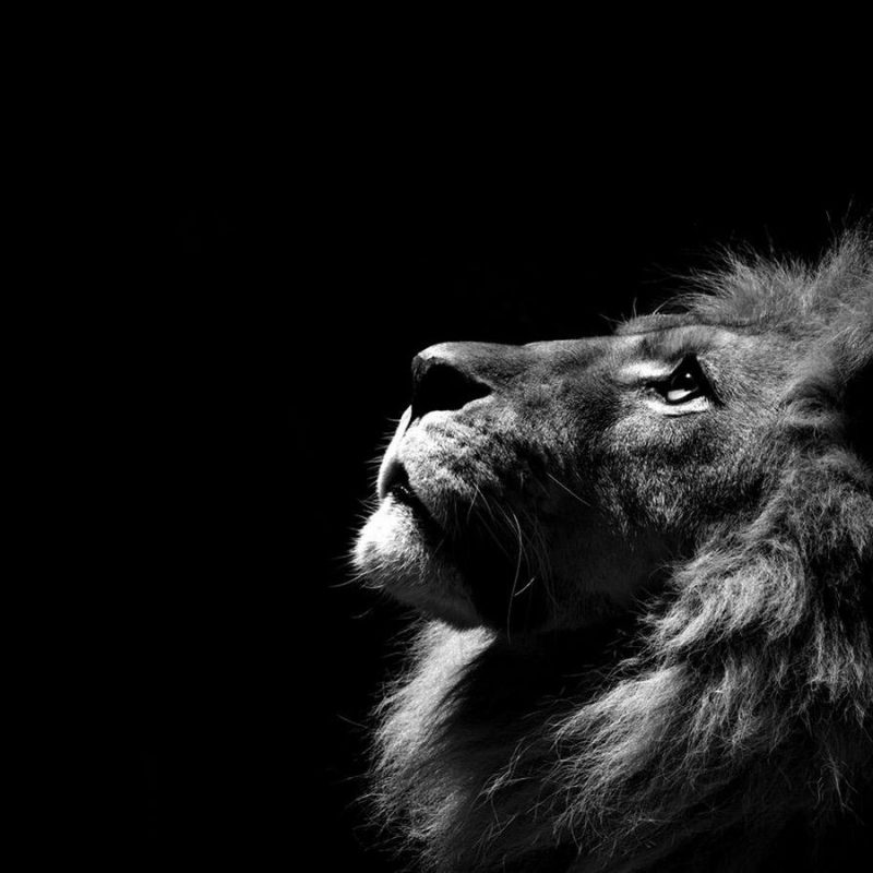 10 Most Popular Black And White Lion Background FULL HD 1080p For PC Desktop 2020 free download free lion black and white wallpapers long wallpapers 800x800