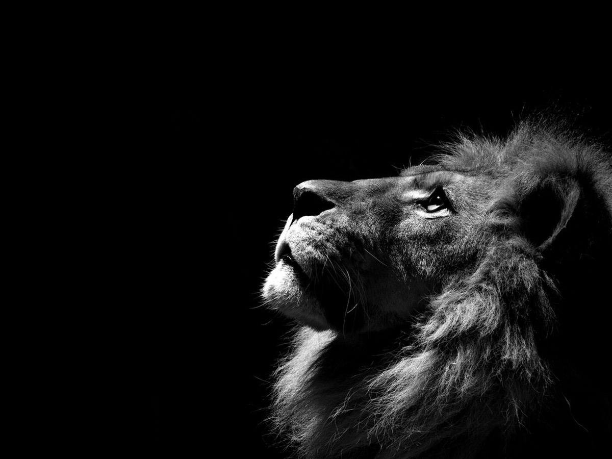 free lion black and white wallpapers « long wallpapers