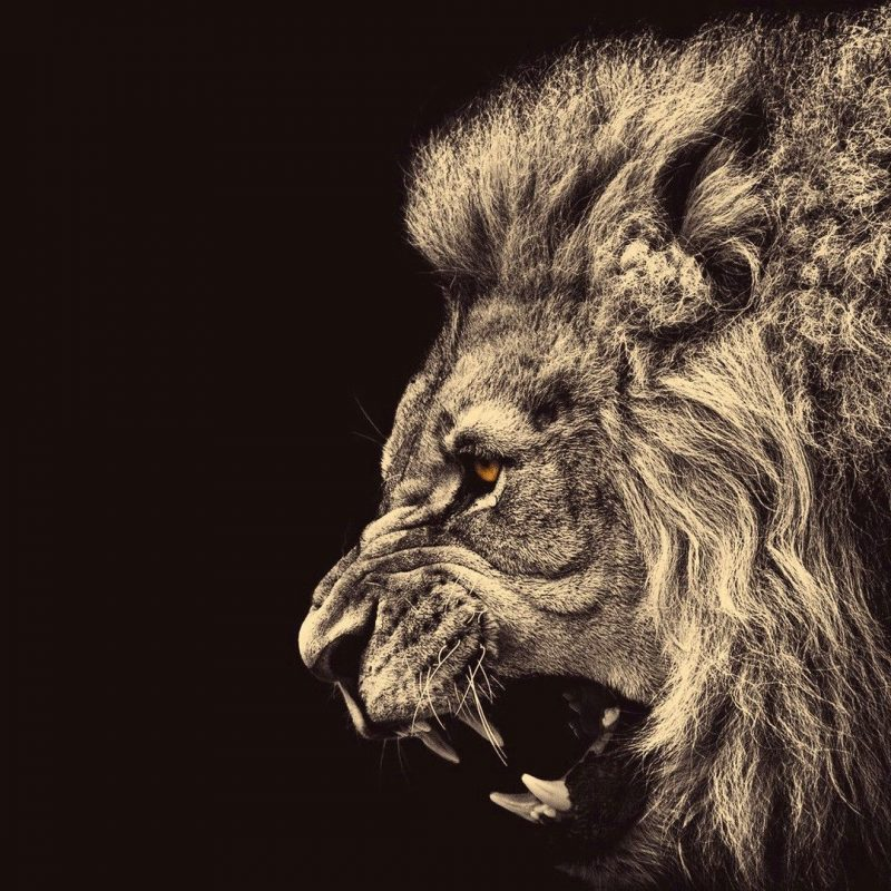10 Latest Lion Desktop Wallpaper Hd FULL HD 1080p For PC Background 2018 free download free lion wallpaper high quality long wallpapers 800x800