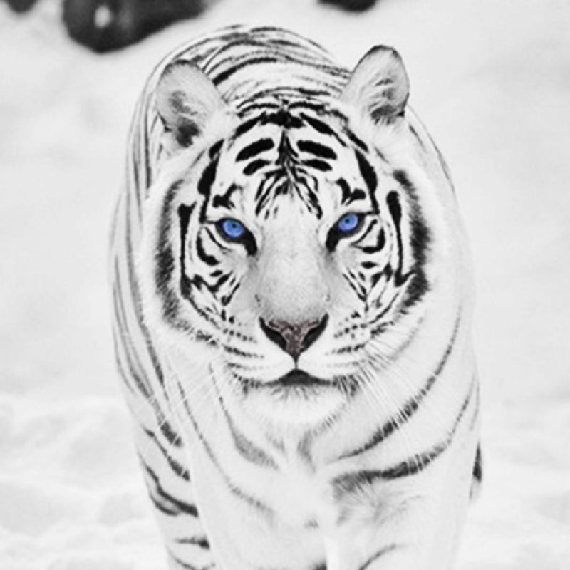 10 Best Wallpapers Of White Tigers FULL HD 1920×1080 For PC Background 2021 free download free pics of white tigers high resolution wild animal white tiger 800x800