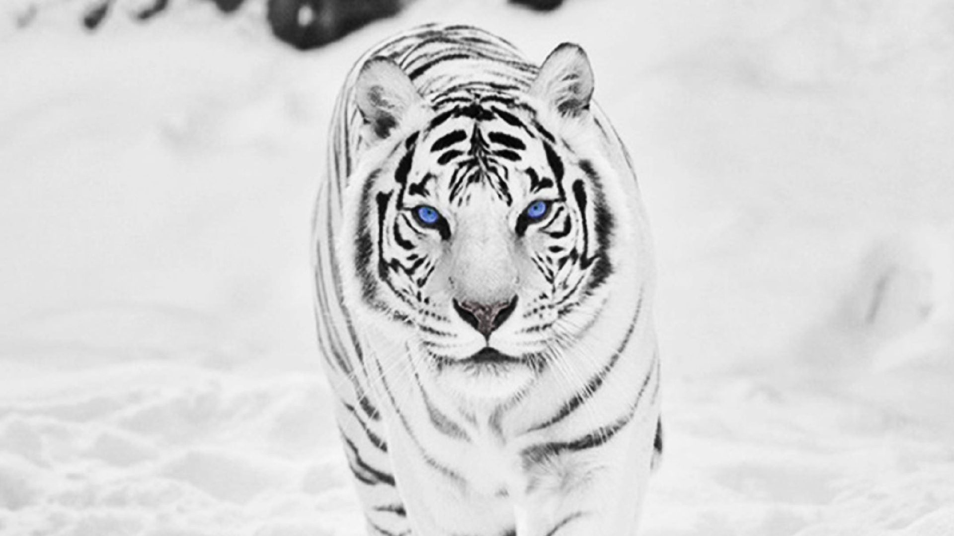 free pics of white tigers | high resolution wild animal white tiger