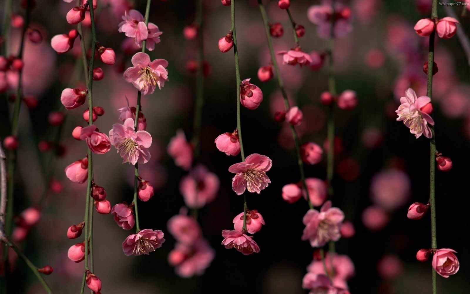 free pink flower wallpaper high quality resolution « long wallpapers