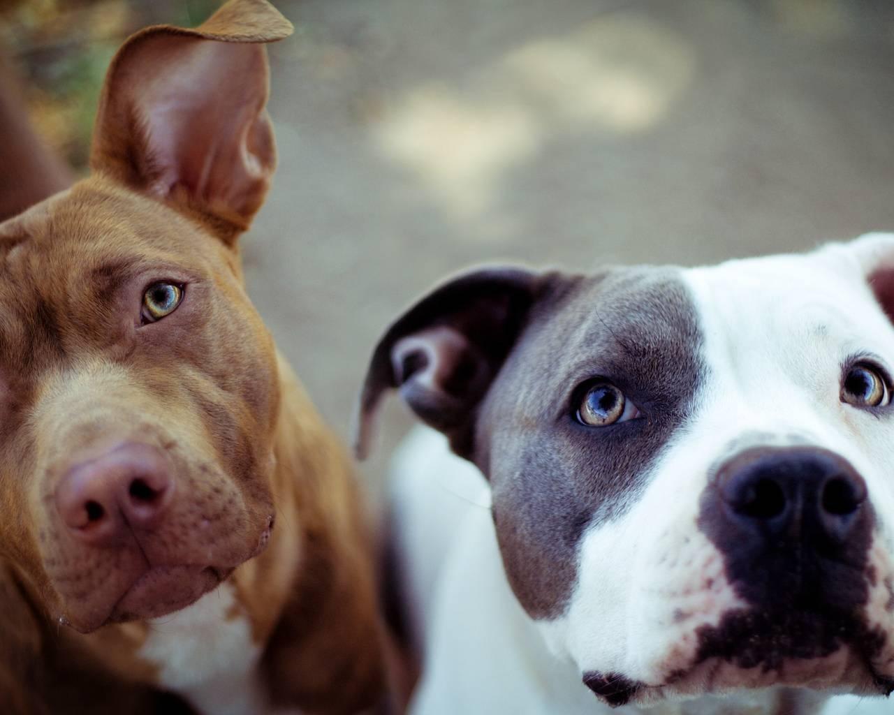 free pit bull wallpaper downloads -