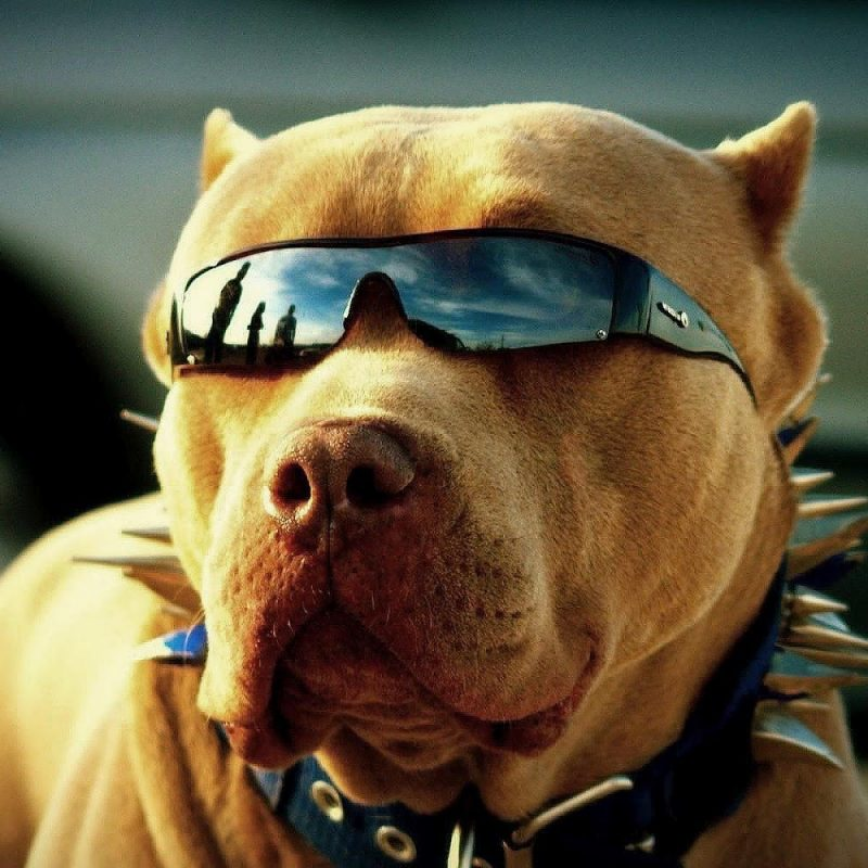 10 Top Cool Pictures Of Pitbulls FULL HD 1920×1080 For PC Background 2018 free download free pitbull wallpapers download pixelstalk 800x800