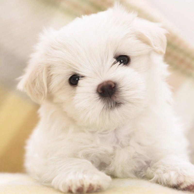 10 Best Puppies Wallpaper For Desktop FULL HD 1080p For PC Desktop 2020 free download free puppy wallpapers for computer wallpaper cave 800x800