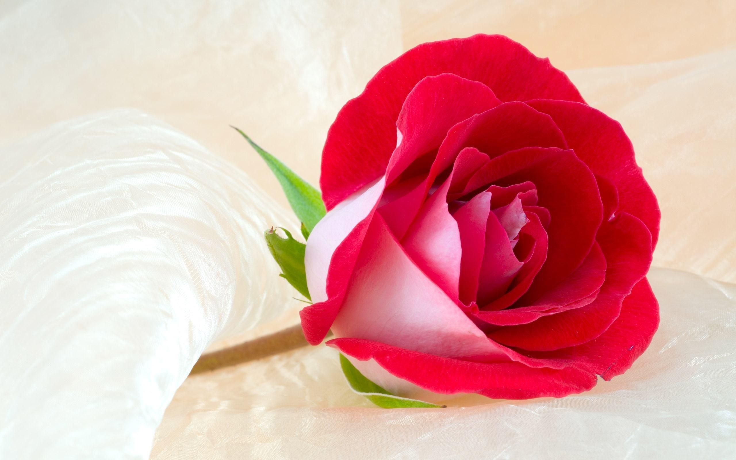 10 Most Popular Roses Wallpapers Free Download FULL HD 1080p For PC Background