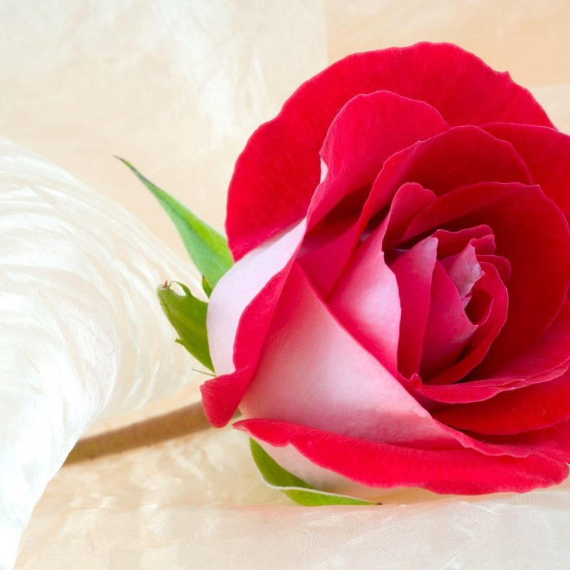 10 New Rose Wallpapers Free Download FULL HD 1920×1080 For PC Background 2018 free download free roses wallpapers wallpaper cave 800x800