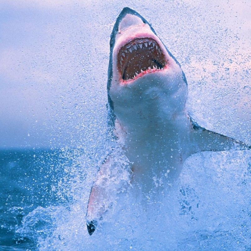 10 Most Popular Shark Wallpaper Hd 1920X1080 FULL HD 1920×1080 For PC Background 2018 free download free shark wallpapers wallpaper cave 800x800