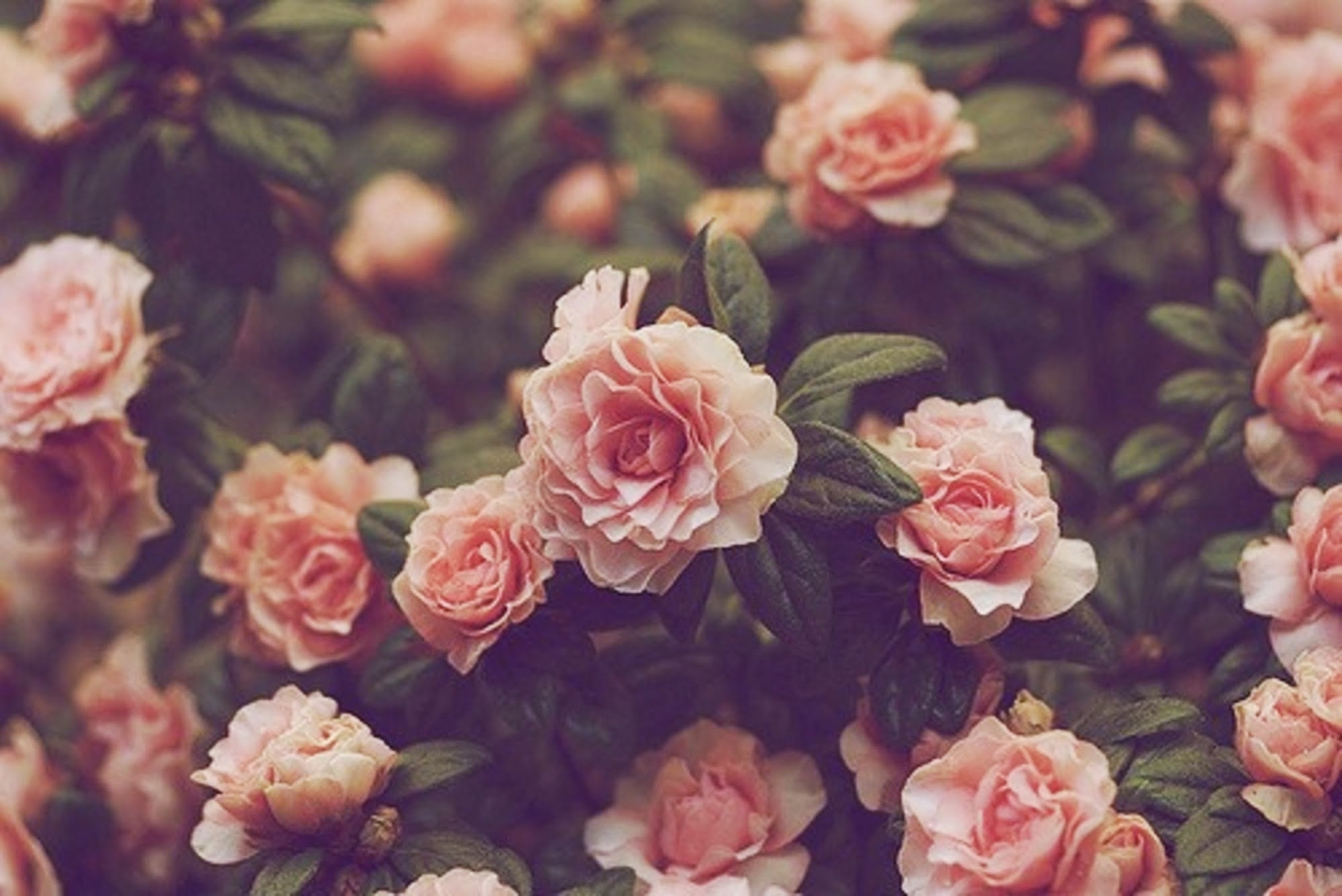 free vintage flower picture « long wallpapers