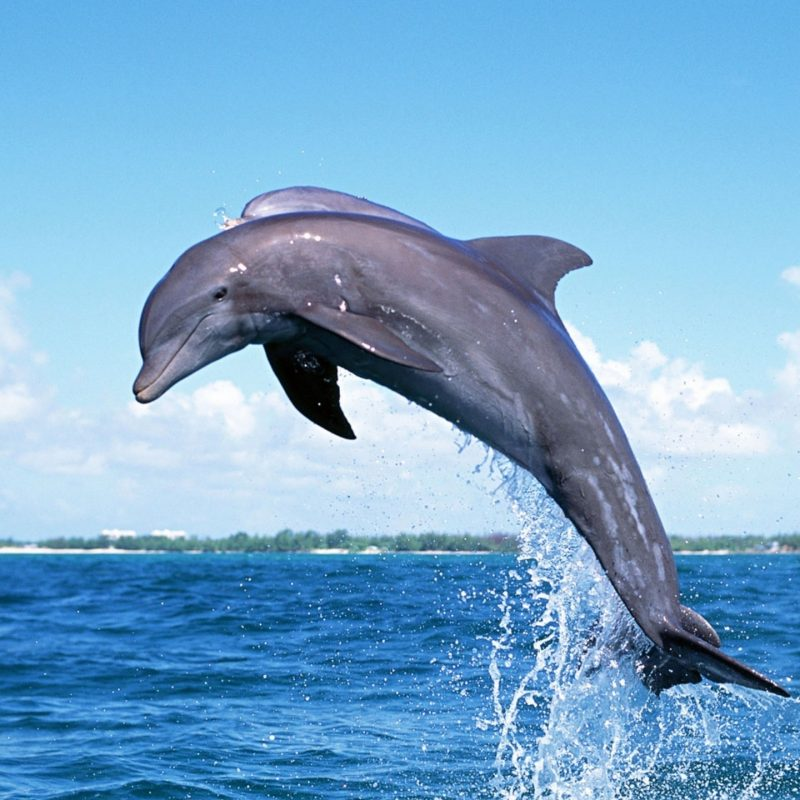 10 Best Dolphins Wallpaper Free Download FULL HD 1920×1080 For PC Background 2021 free download free wallpaper free animal wallpaper dolphin wallpaper 800x800