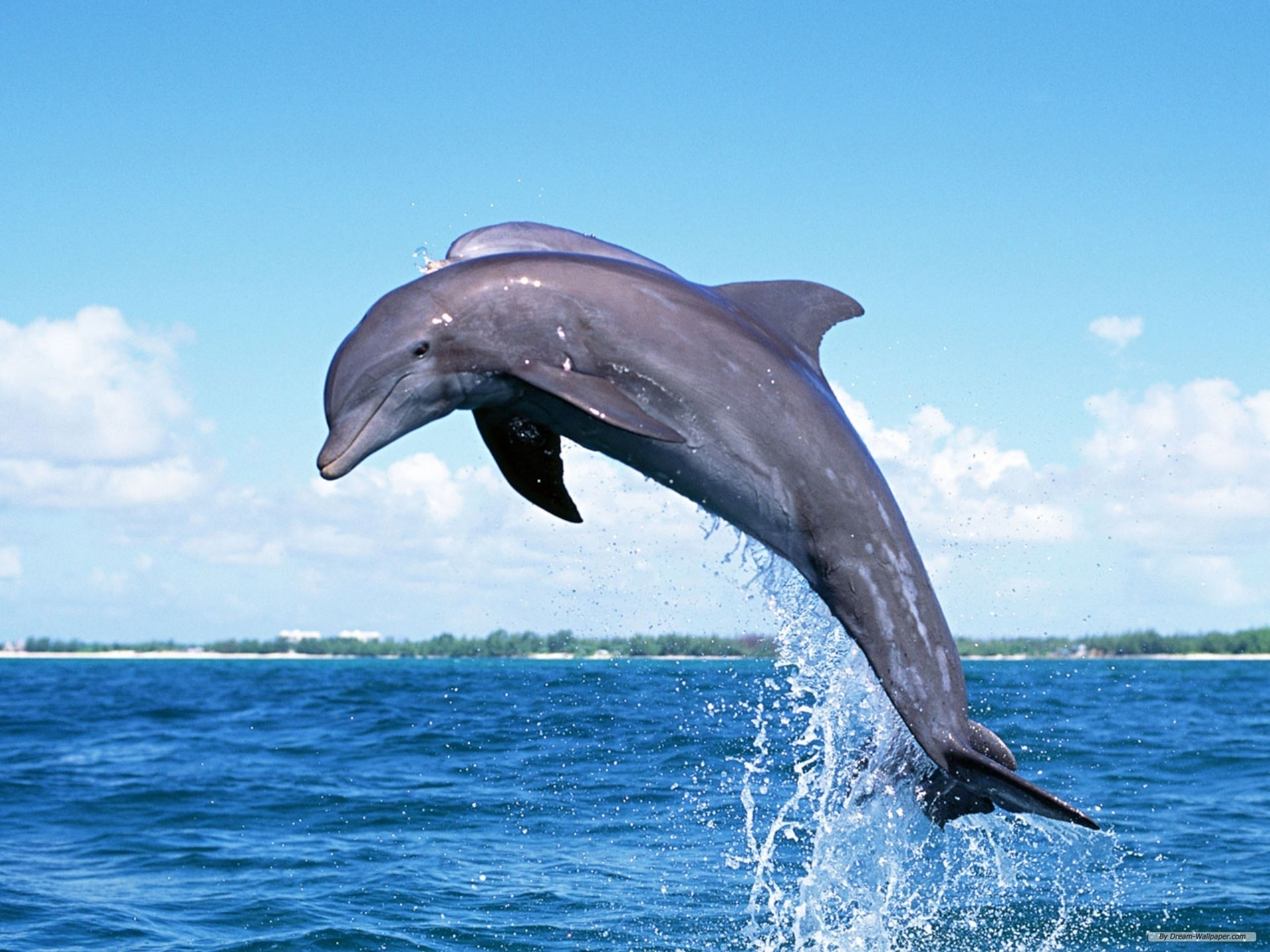 free wallpaper - free animal wallpaper - dolphin wallpaper