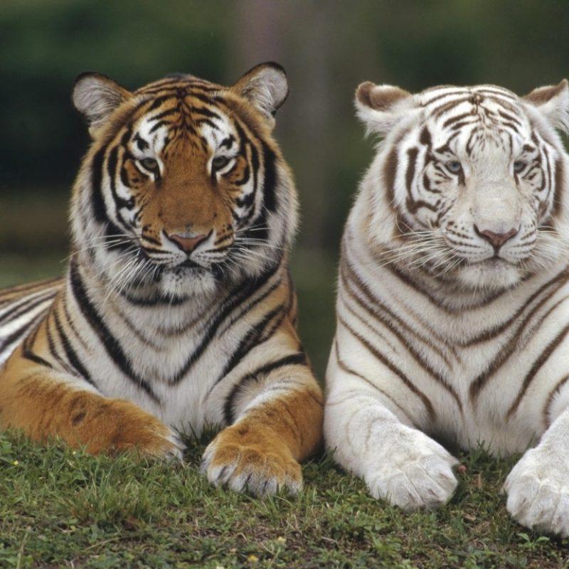10 Top White Bengal Tigers Wallpaper FULL HD 1080p For PC Desktop 2020 free download free white bengal tiger hd wallpapers download 800x800