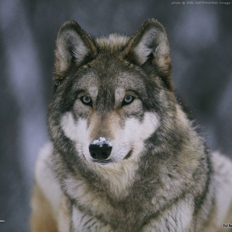 10 Top Free Wolf Wallpaper For Android FULL HD 1080p For PC Desktop 2020 free download free wolf wallpaper download 800x800